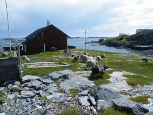 Hallaroy sheep